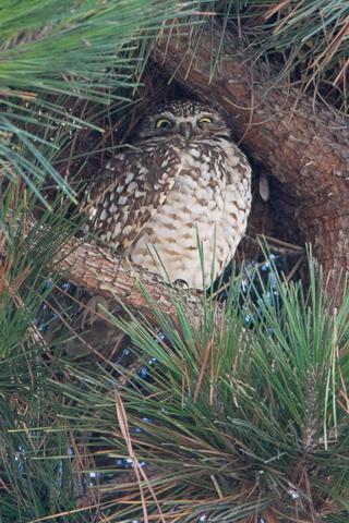 Burowing Owl